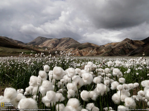 cotton-grass-iceland--w.jpeg